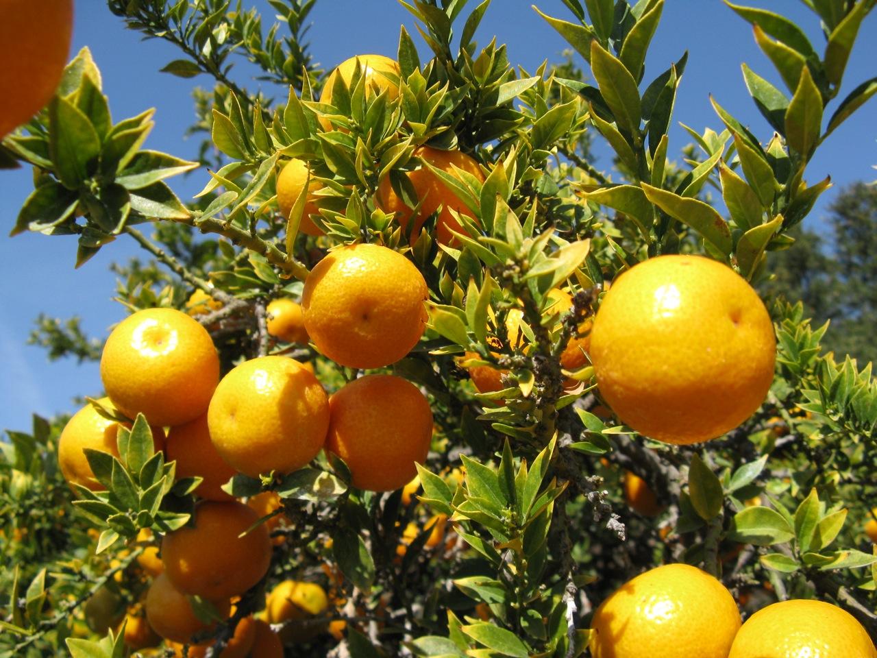 cytryny-na-drzewie